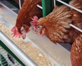 Добавки в корм для птицеводства