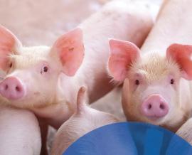 Добавки в корм для свиноводства