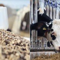 гранулы и коровы